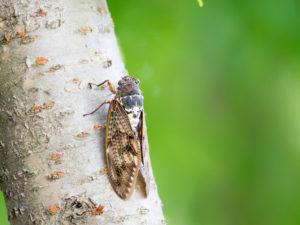 スピリチュアルでは蝉は幸運の象徴
