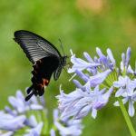 蝶が示すスピリチュアルメッセージとは?クロアゲハは神様の遣い?