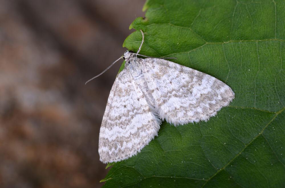 蛾のスピリチュアルな意味やメッセージとは?白い蛾は幸運を運ぶ?