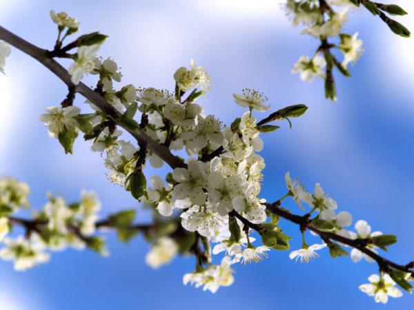 白色の桜の