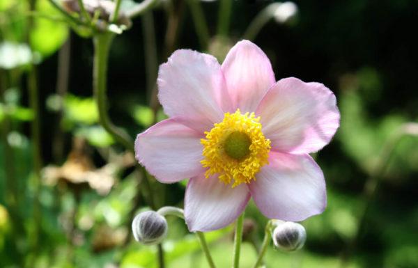 ピンク色のアネモネ