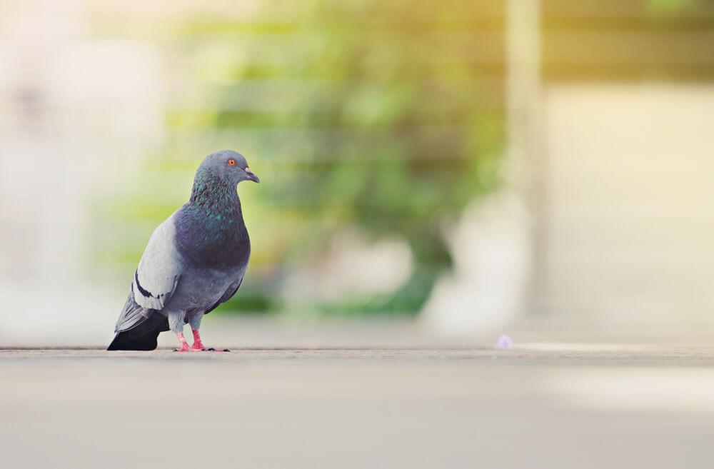 鳩のスピリチュアルな意味とは?白い鳩は幸運の証?つがいの鳩が持つメッセージは?