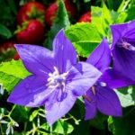 桔梗(キキョウ)の花言葉とは?意味や由来、色別(紫・青・白・ピンク)、英語名の花言葉もご紹介!