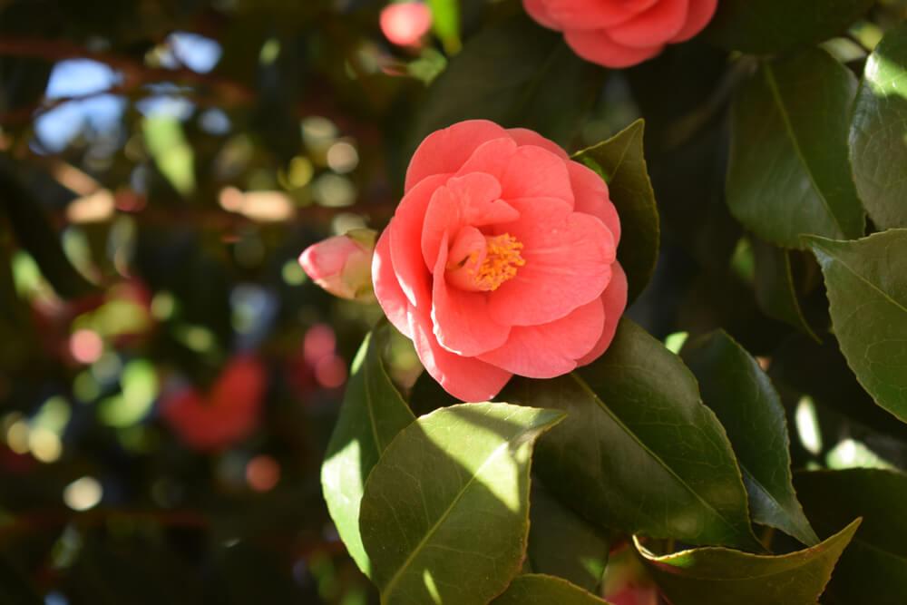 椿(ツバキ)の花言葉