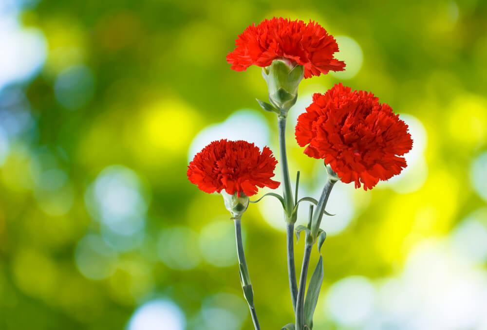 カーネーションの花言葉