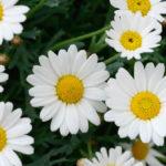 マーガレットの花言葉とは?意味や由来、色(白・ピンク・黄)、本数別、英語名などもご紹介!