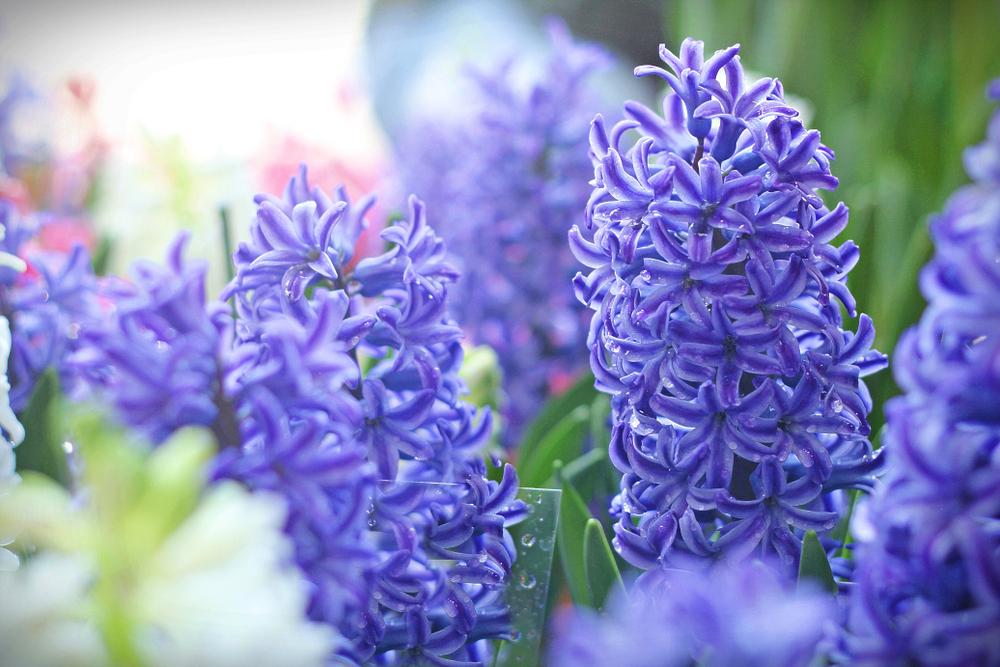 ヒヤシンスの花言葉とは?意味や由来、色別(紫・赤・ピンク・白など)、英語名の花言葉もご紹介!