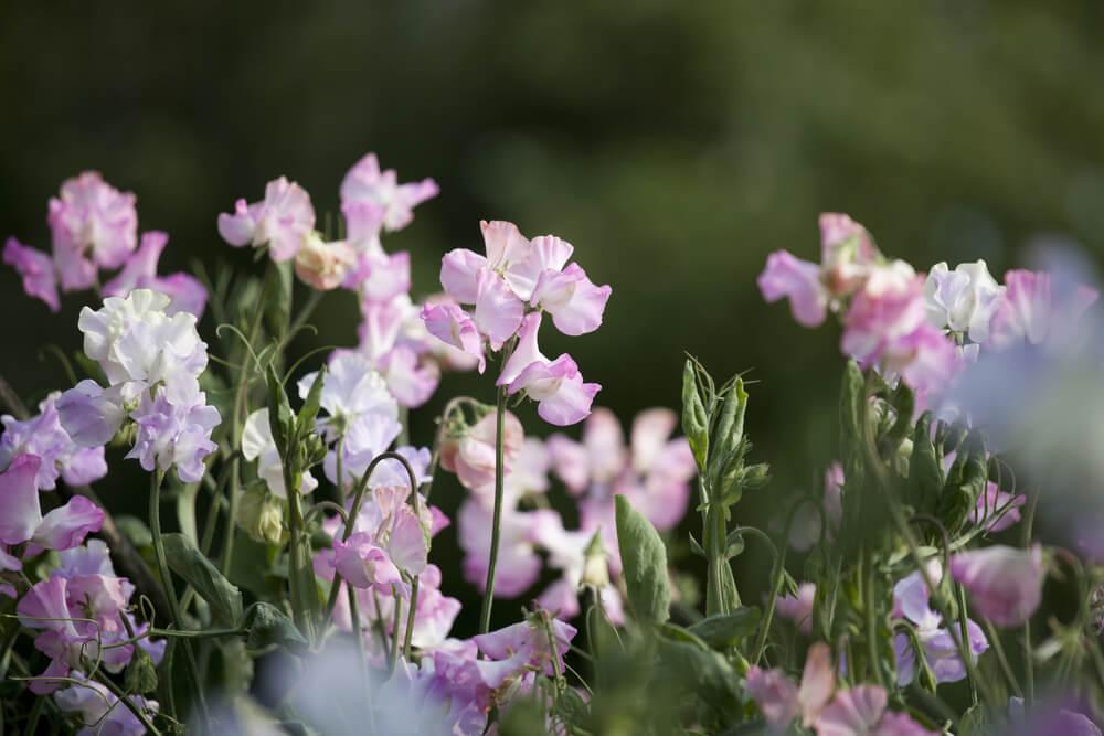 スイートピーの花言葉とは?意味や由来、色別(赤・ピンク・白・紫・黄)、英語の花言葉もご紹介!