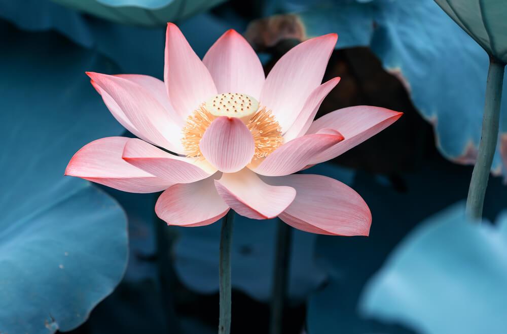 蓮(ハス)の花言葉とは?意味や由来、色別(白・ピンク)、英語名の花言葉もご紹介!