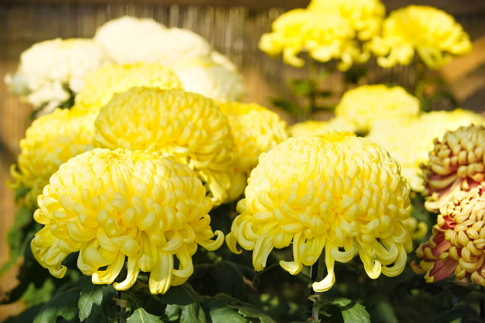 菊(キク)の花言葉とは?意味や由来、色(赤・白・黄)、種類別、英語名の花言葉もご紹介!
