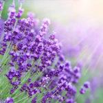 ラベンダーの花言葉とは?意味や由来、種類、英語名の花言葉などをご紹介!