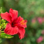ハイビスカスの花言葉とは?意味や由来、色別(白・ピンク・黄・赤)、英語名の花言葉もご紹介!