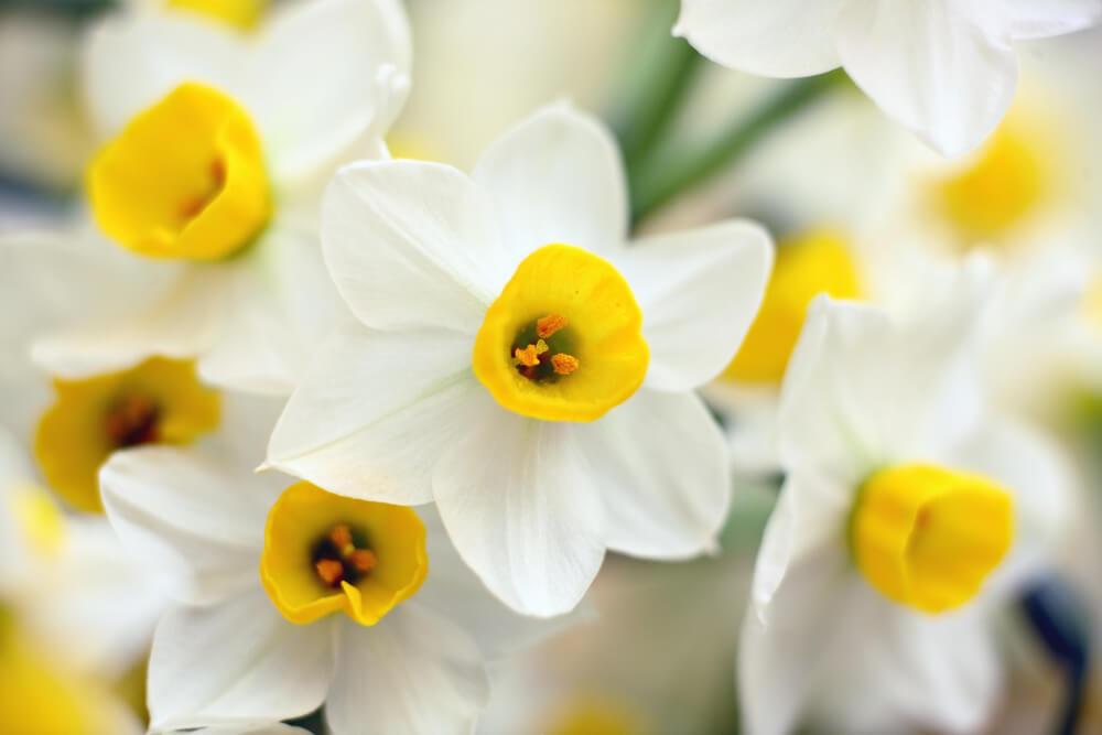 水仙(スイセン)の花言葉とは?意味や由来、色(白・黄・)、種類別、英語の花言葉もご紹介!