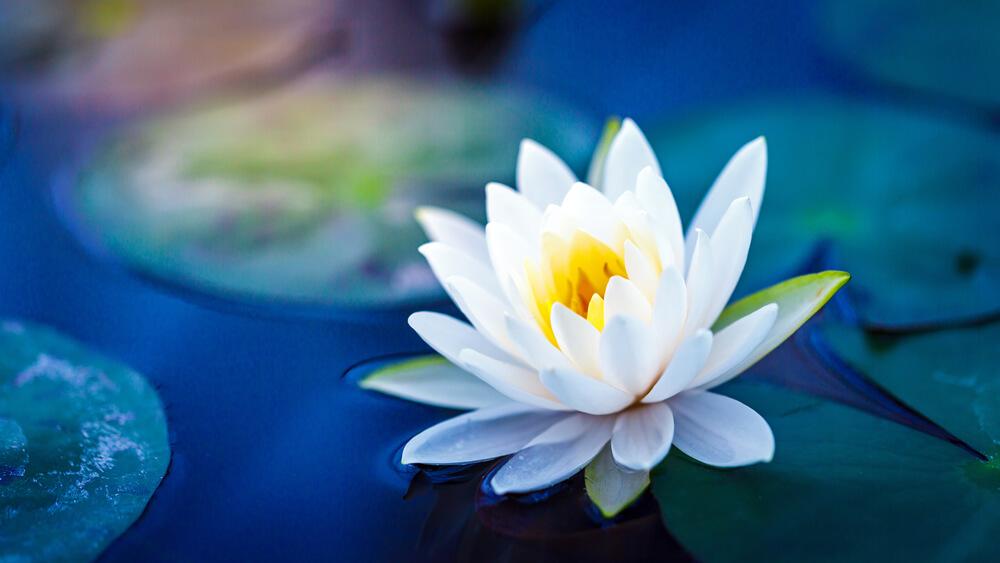 睡蓮(スイレン)の花言葉とは?意味や由来、色別(白・ピンク・黄)、英語の花言葉もご紹介!