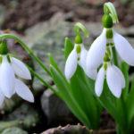 スノードロップの花言葉とは?意味や由来、種類や英語名の花言葉などをご紹介!
