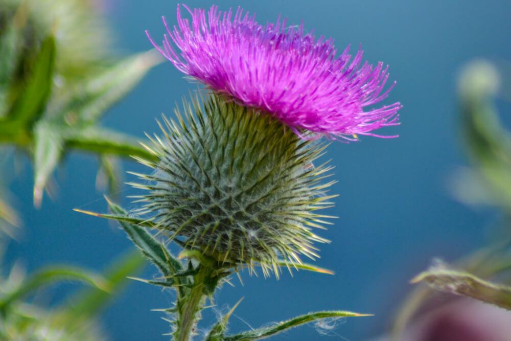 アザミ(薊)の花言葉とは?意味や由来、色別(赤・紫・白)、英語名の花言葉もご紹介!