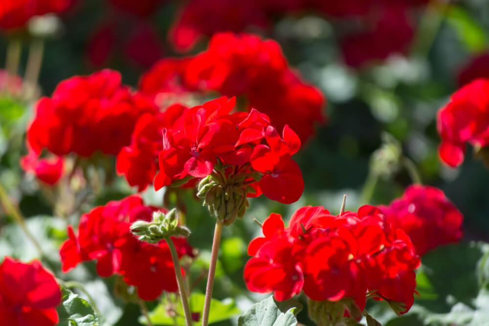 ゼラニウムの花言葉とは?意味や由来、色別(黄・白・赤・紫)、英語名の花言葉もご紹介!