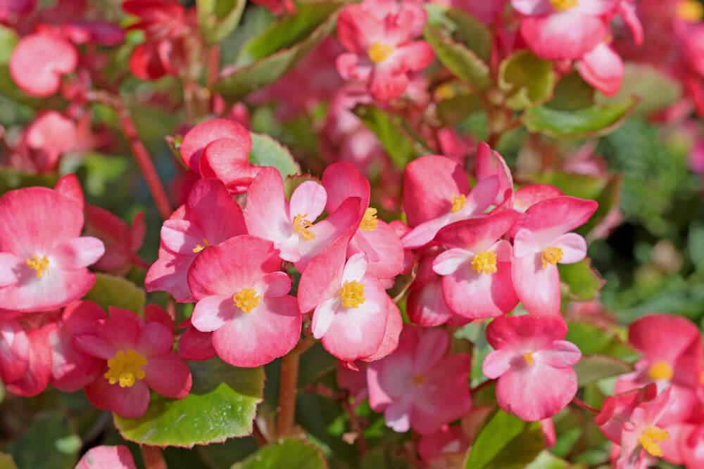 ベゴニアの花言葉とは?意味や由来、色別(赤・白)、英語名の花言葉もご紹介!
