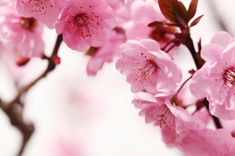 3月3日生まれの誕生花が→コレ!性格や恋愛・仕事などの誕生日占いもご紹介!