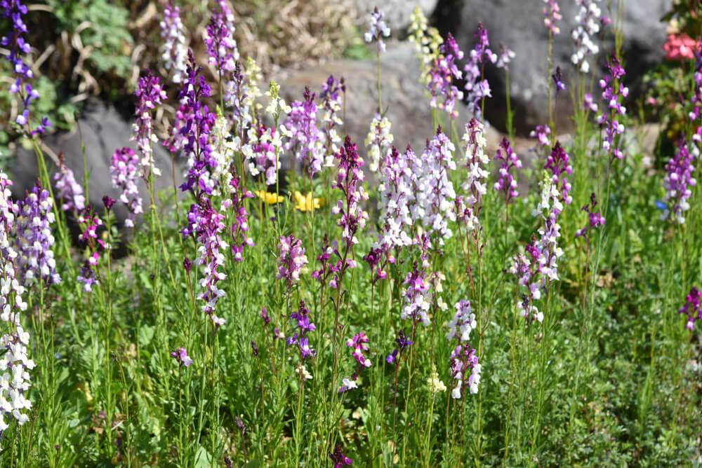 リナリアの花言葉とは?意味や由来、種類、英語名などをご紹介!