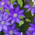 クレマチスの花言葉とは?意味や由来、種類、英語名の花言葉もご紹介!