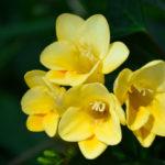 フリージアの花言葉とは?意味や由来、色別(黄・白・赤・紫)、英語名の花言葉もご紹介!