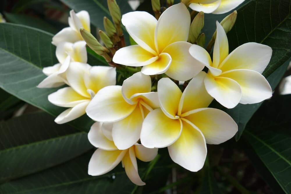 プルメリアの花言葉とは?意味や由来、英語名の花言葉もご紹介!【ハワイの花】