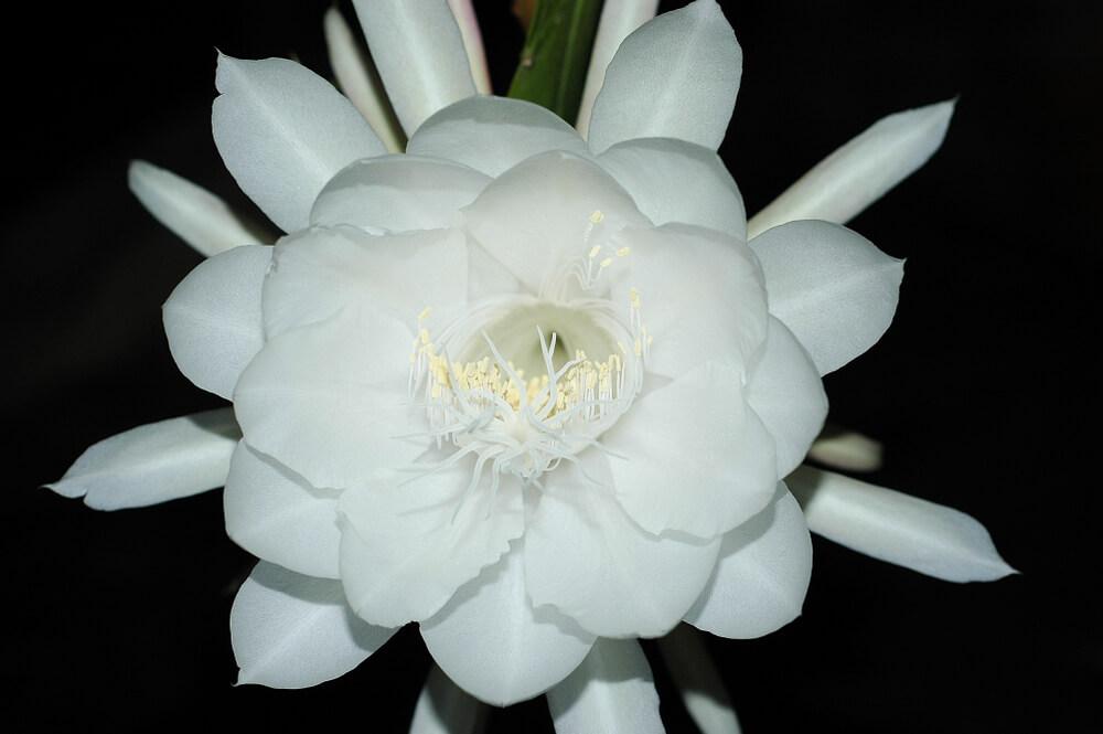 月下美人(ゲッカビジン)の花言葉とは?意味や由来、種類、英語名の花言葉などをご紹介!