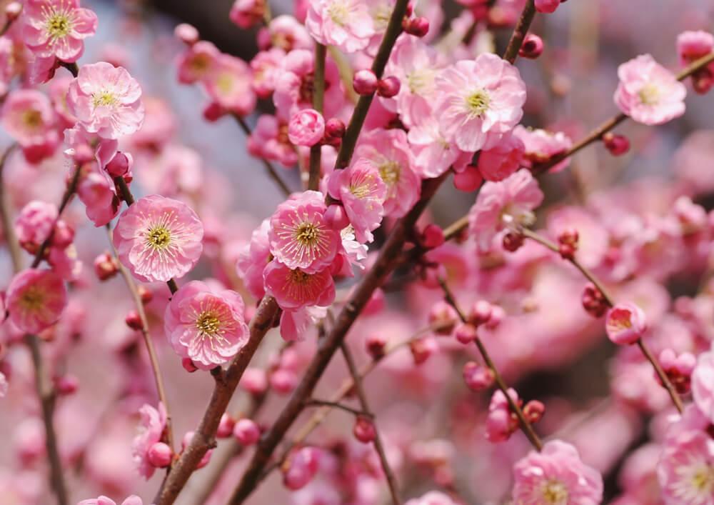 梅(ウメ)の花言葉とは?意味や由来、色別(赤・白・桃)、英語名の花言葉もご紹介!