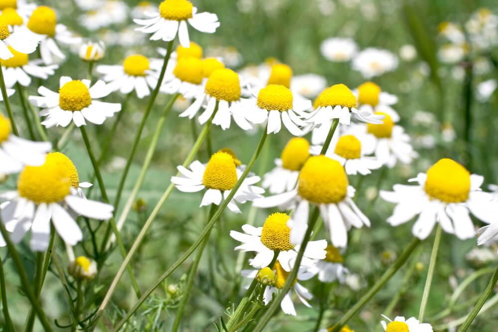カモミール(カミツレ)の花言葉とは?意味や由来、種類、英語名の花言葉もご紹介!
