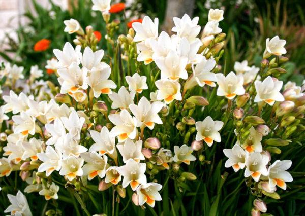 白色のフリージアの花言葉