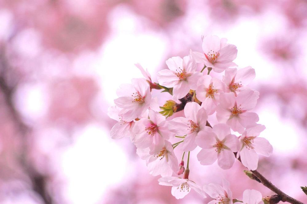 【4月の誕生花一覧】4月の誕生花・花言葉をご紹介!