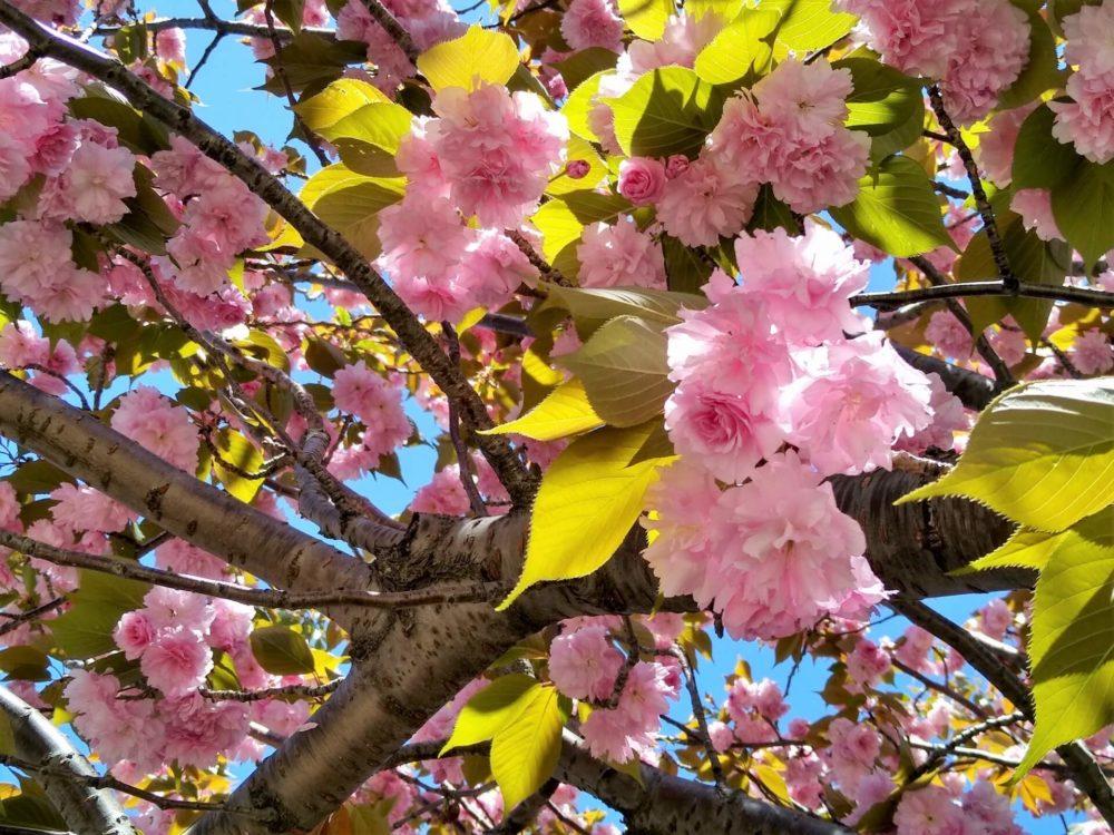 4月11日生まれの誕生花が→コレ!性格や恋愛・仕事などの誕生日占いもご紹介!