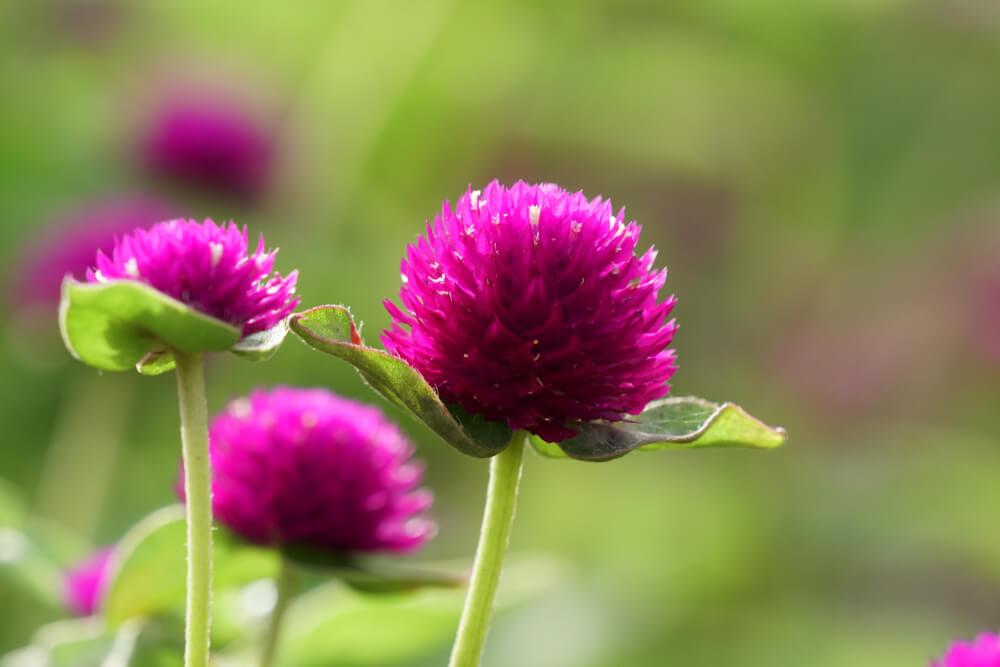 千日紅(センニチコウ)の花言葉とは?意味や由来、種類、英語名の花言葉もご紹介!