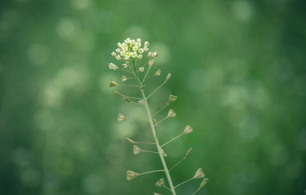 ナズナ(ぺんぺん草)の花言葉とは?意味や由来、種類別、英語名の花言葉もご紹介!