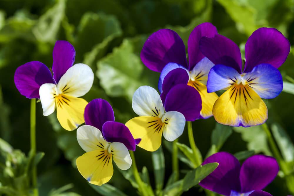 ビオラの花言葉とは?意味や由来、色別(白・黄・紫など)、英語名の花言葉もご紹介!