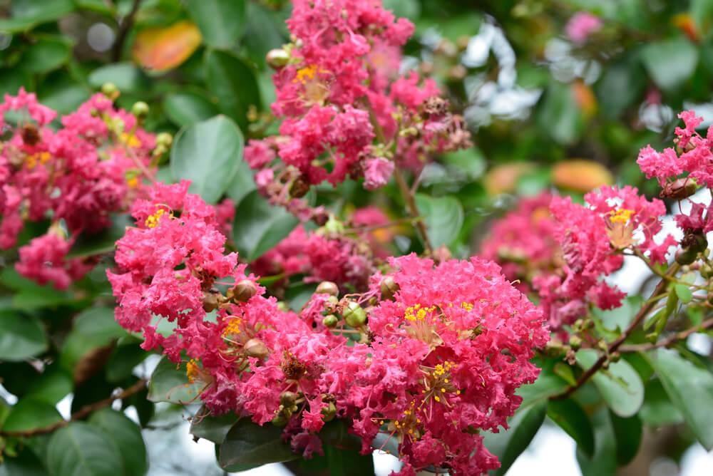 百日紅(サルスベリ)の花言葉とは?意味や由来、種類、英語名などをご紹介!
