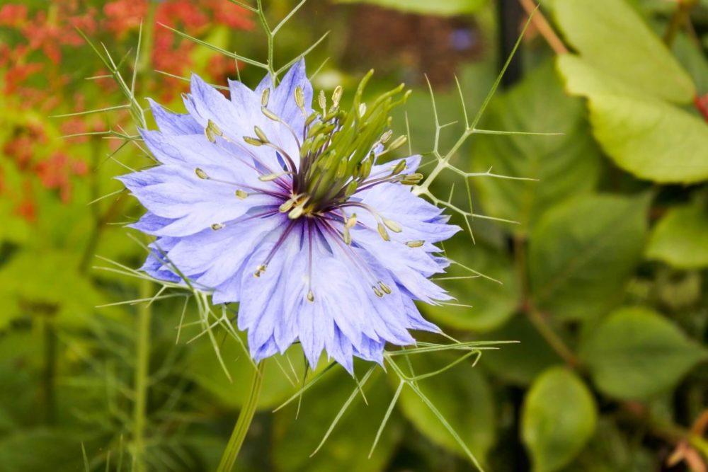 ニゲラ(クロタネソウ)の花言葉とは?意味や由来、種類、英語名の花言葉もご紹介!