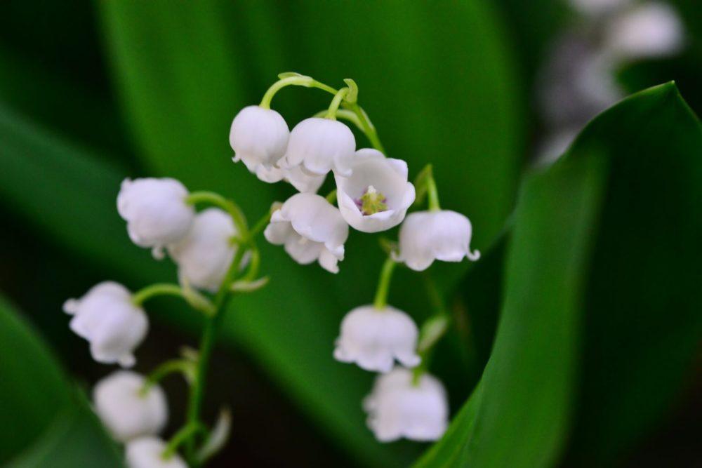 【5月の誕生花一覧】5月の誕生花・花言葉をご紹介!