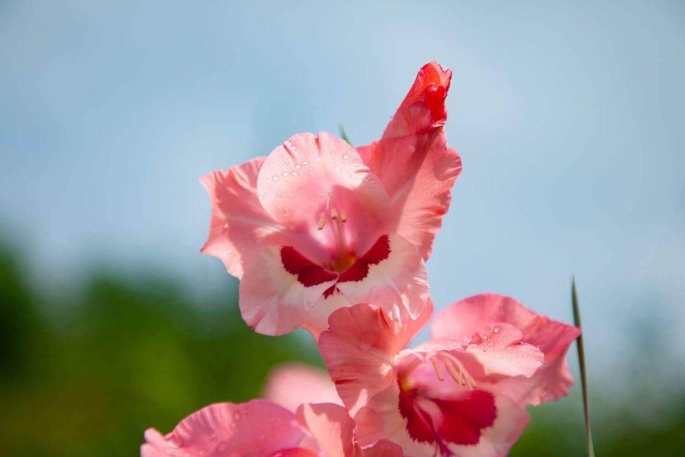 グラジオラスの花言葉とは?意味や由来、色別(赤・ピンク・紫)、英語名の花言葉もご紹介!