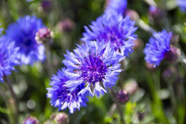 ヤグルマギク(矢車菊)の種類