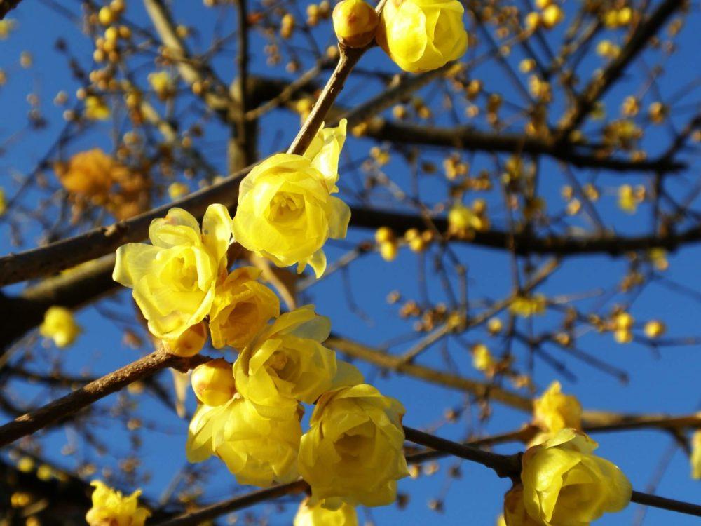 蝋梅(ロウバイ)の花言葉