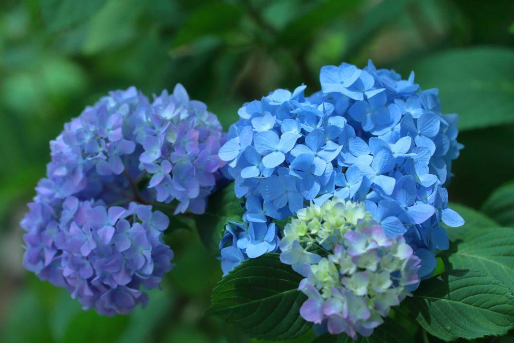 【6月の誕生花一覧】6月の誕生花・花言葉をご紹介!