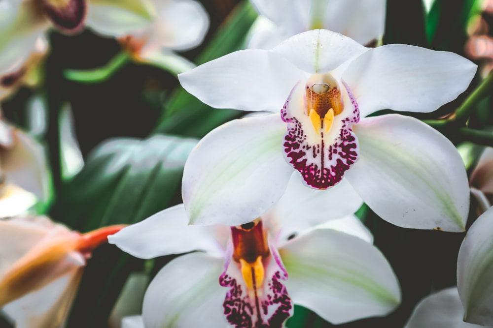 シンビジウムの花言葉とは?意味や由来、色別(白・黄・ピンク・黄緑)、英語名の花言葉もご紹介!