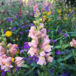 キンギョソウ(金魚草)の花言葉とは?意味や由来、種類、英語名の花言葉もご紹介!