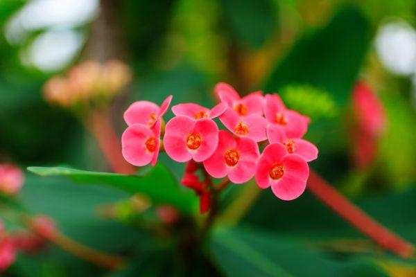 ハナキリン(花麒麟)