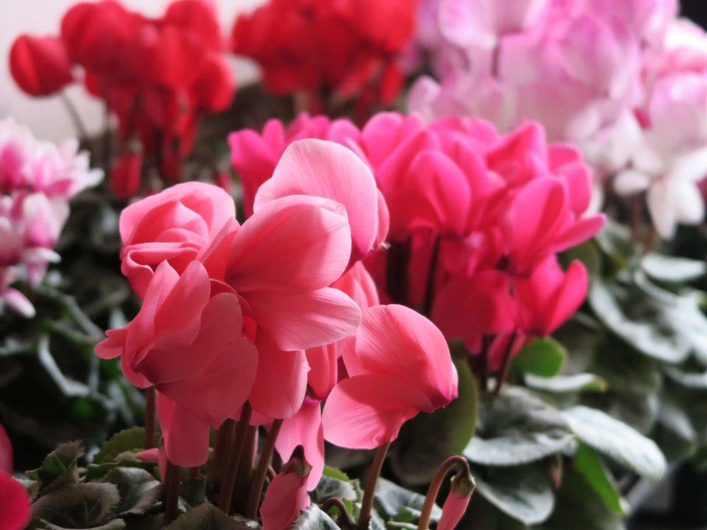 【11月の誕生花一覧】11月の誕生花・花言葉をご紹介!