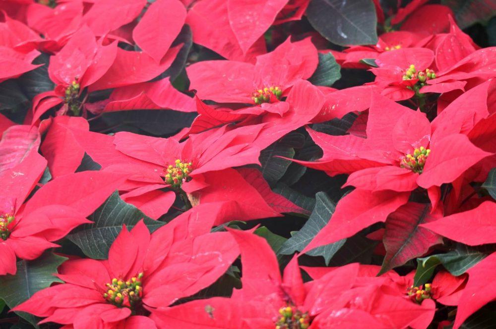 12月9日生まれの誕生花と花言葉がコレ!性格や恋愛・仕事などの誕生日占いもご紹介!