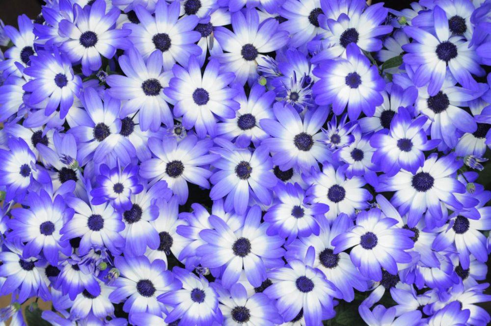 12月23日生まれの誕生花と花言葉がコレ!性格や恋愛・仕事などの誕生日占いもご紹介!