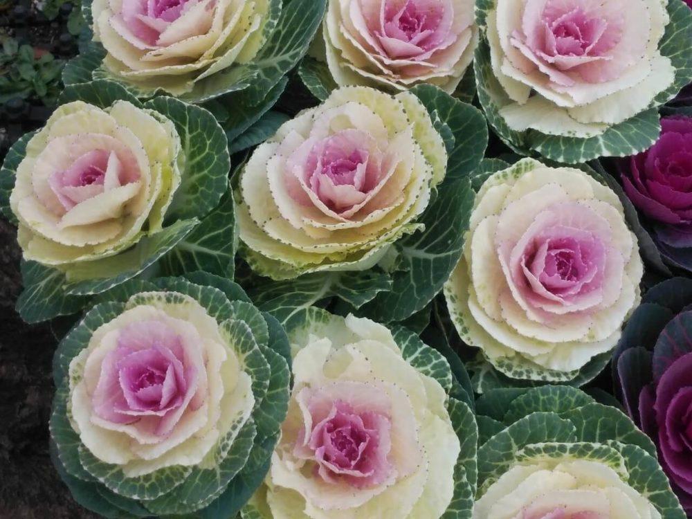 11月27日生まれの誕生花と花言葉がコレ!性格や恋愛・仕事などの誕生日占いもご紹介!
